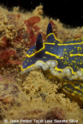 Hypselodoris picta shot 12m deep in Algarve using a Canon... by Joao Pedro Tojal Loia Soares Silva 